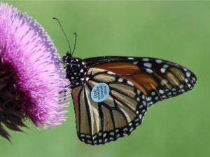Monarch Butterfly with a tracking tag. Photo: Southwest Monarch Study