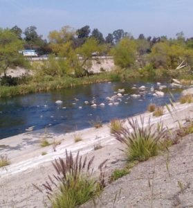 Despite walls of concrete, the natural habitat persists in soft bottomed portions of the LA River.